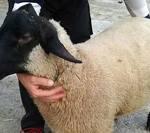 Pecore Suffolk