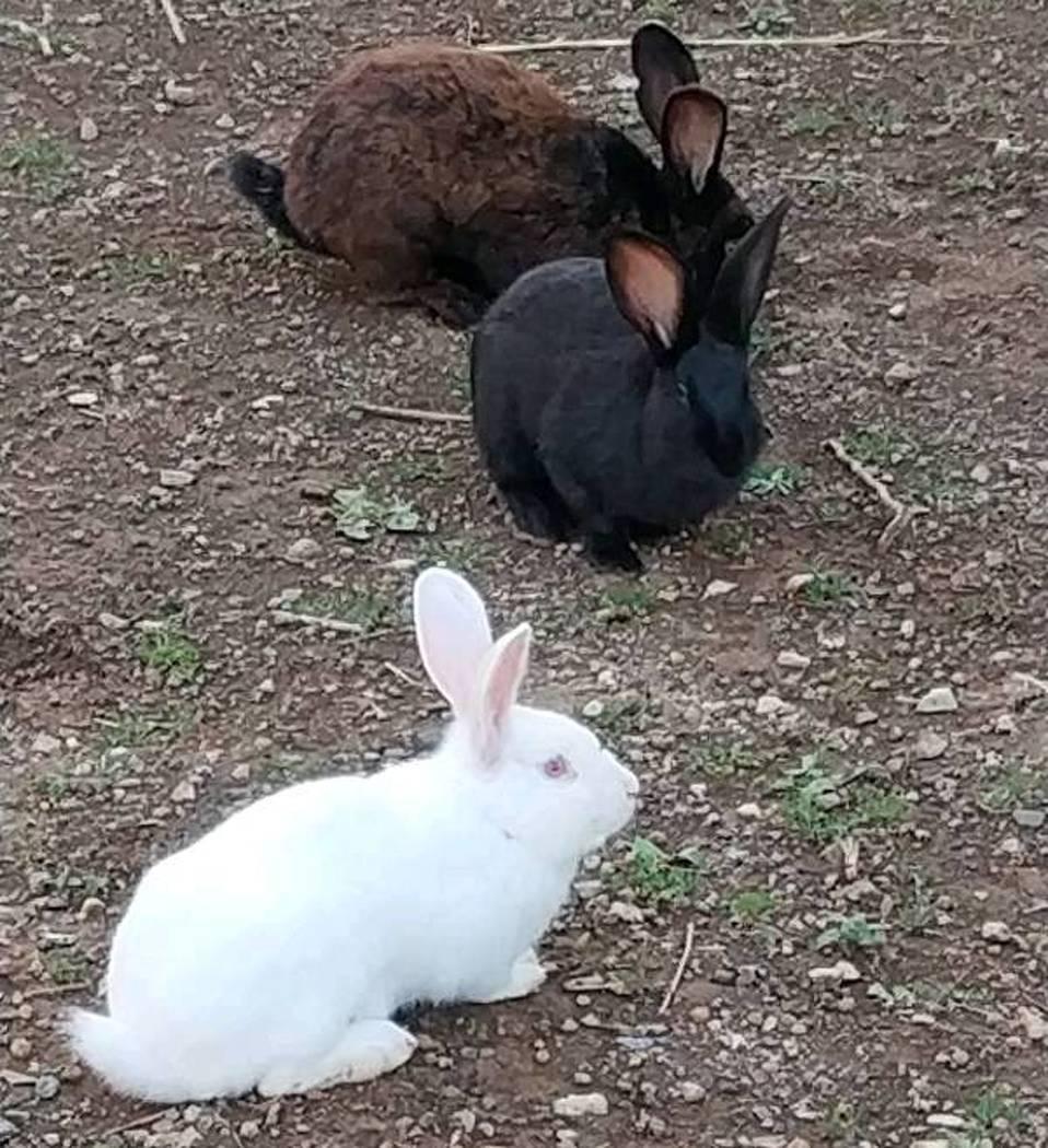 Conigli liberi in agriturismo
